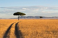 Acacia Trees in Kenya Savanna, Landscape, Africa