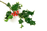 holly branch, over a white background