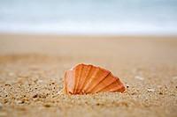 Orange cockleshell on a beach near the seaOrange cockleshell on a beach near the sea
