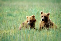 Young Grizzly Bears Hanging Out