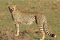 Cheetah Standing Still