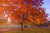 oregon, united states of america, autumn colored trees in the morning fog