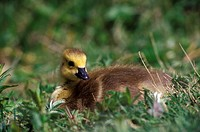 Goose goslings, Reifel Bird Sanctuary, Westham Island, British Columbia, Canada