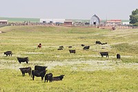 cattle at a farm, central alberta, canada