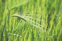 unripe barley