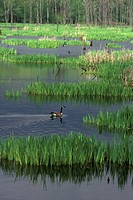 Canada goose swimming in marsh, Buttertubs Park, Nanaimo, British Columbia, Canada