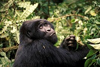 Mountain Gorilla, Zaire