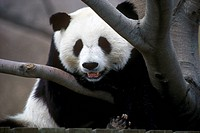 Giant Panda Bear at Feeding time, Toronto Metro Zoo, Ontario, Canada