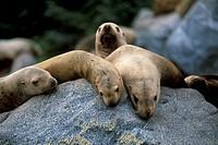 Sea Lions, Alaska