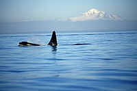 Orca, Killer Whales off of Victoria, Vancouver Island, British Columbia, Canada