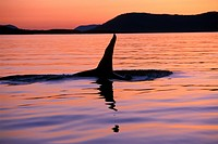 Orca, Killer whales off Vancouver Island, British Columbia, Canada
