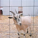 Goat Standing In A Cage And Looking At You