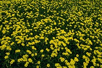 High angle view of a meadow of yellow flowers