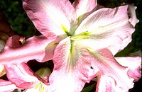 Close_up of a pink tiger lily