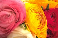 Close_up of roses in a variety of colors
