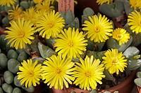 Conophytum springbokense