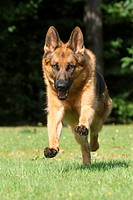German Shepherd dog _ running on meadow