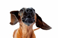 Bavarian Mountain Hound dog _ barking _ cut out