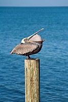 Marathon Key, FL - Dec 2008 - Brown Pelican Pelecanus occidentalis perched on wooden pile along the coastline at Marathon Key, Florida