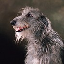 Scottish Deerhound: type of breed