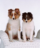 Two Shetland Sheepdog puppies sitting on a white wicker chair