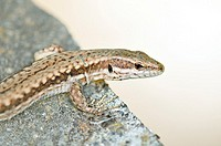 Common Wall Lizard (Podarcis muralis) on the Grammos Mountain, northwestern Greece