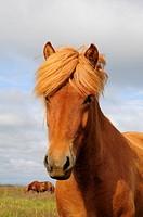 Chestnut Mare, Icelandic Horse, Iceland