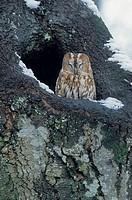 Tawny Owl, auburn phase , Strix aluco