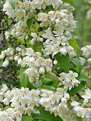 Snow flower Deutzia reflexa