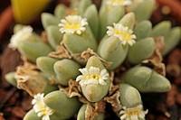 Conophytum quaesitum v. rostratum