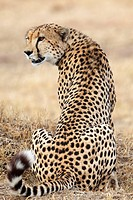 Cheetah Acinonyx jubatus sitting, Masai Mara National Reserve, Kenya, rear view