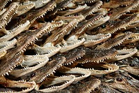 Crocodiles as souvenirs, New Orleans, USA, close_up