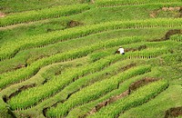 Rice cultivation on a terraced field, Ubud, Bali, Indonesia, high angle view
