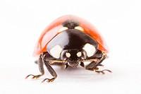 seven_spotted ladybug Coccinella septempunctata