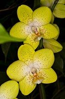 orchid blossoms yellow