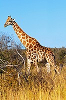 Giraffes, Giraffe camelopardalis, in the African savannah, Madikwe Game Reserve, South Africa