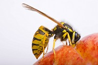 Vespula germanica on an apple