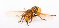 hornet Vespa crabro