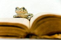 European green toad Bufo viridis front of a book