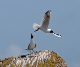 A pair of black headed gulls