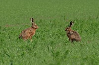 jack rabbits on a field