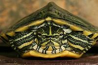 tortoise Trachemys scripta scripta
