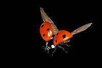 ladybird Coccinellia septempunctata