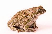 toad Bufo viridis