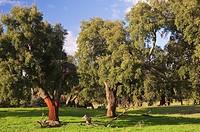 Dehesa cork, natural park of Sierra de Aracena y Picos de Aroche, Huelva, Andalucia, Spain