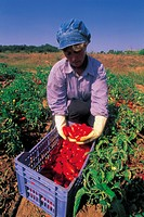 Picking tomatoes in Italy,Apulia