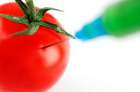 Tomato being injected with hypodermic syringe, GM food concept