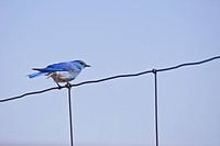 Mountain Bluebird sialia currocoides perched on wire fence.