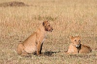 Two lion cubs on the plains of the Masai Mara