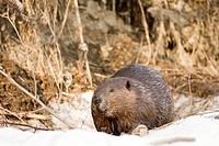 Beaver castor canadensis standing on frozen stream.